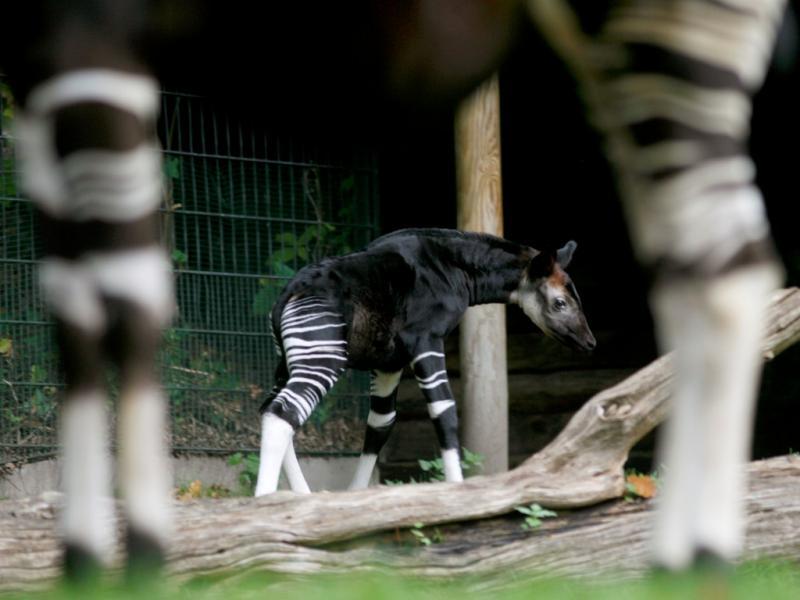 Okapi (Reuters)