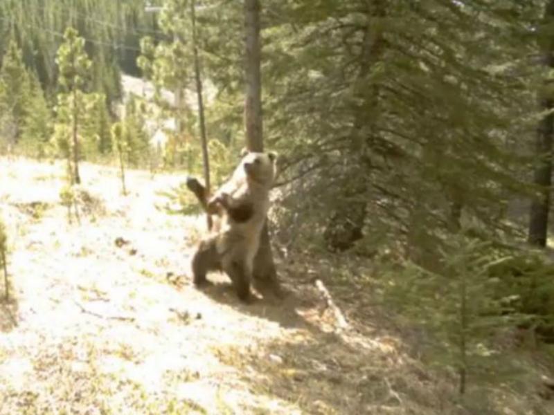 Urso a dançar «poledance» [Reprodução Youtube]
