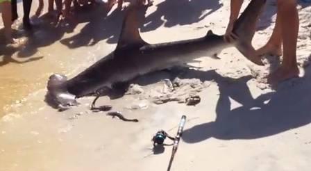 Banhistas testemunham parto de tubarão-martelo junto à areia