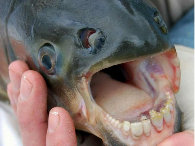 Peixe Pacu (Foto DR)