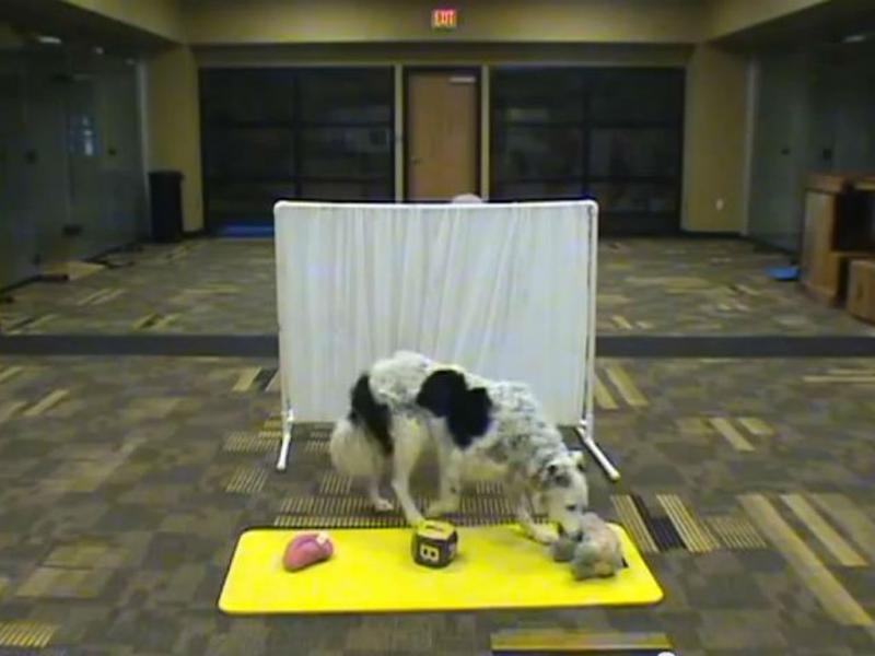 Este cão tem a inteligência de uma criança de dois anos e meio (Reprodução/youtube)