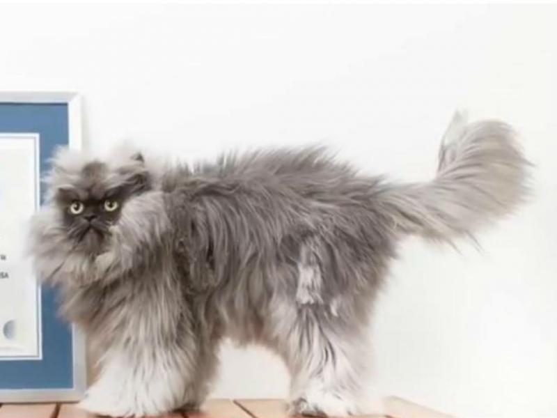 Este é o gato com o pelo mais comprido (Reprodução/Youtube)