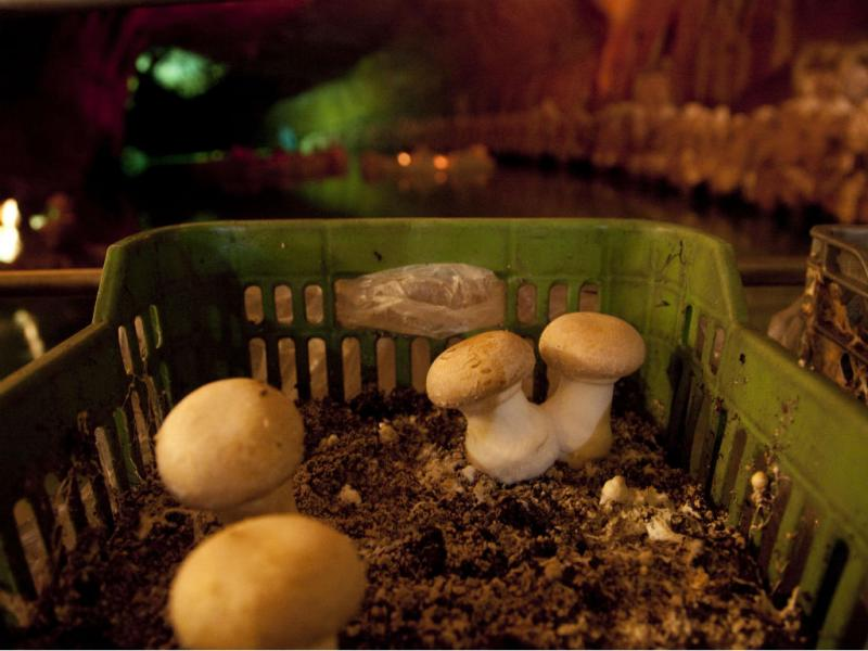Grutas de Mira de Aire produzem cogumelos (PAULO CUNHA/LUSA)