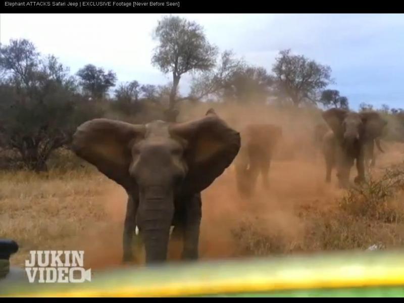 Elefantes atacam jipe durante safari