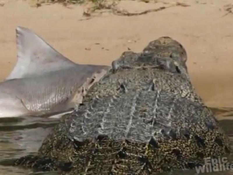 Crocodilo come tubarão (Foto reprodução YouTube)
