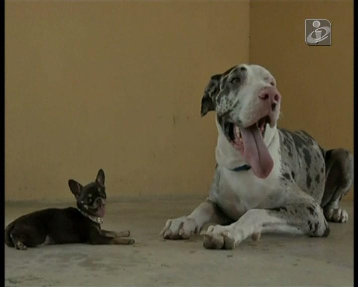 Este é o cão mais pequeno do mundo