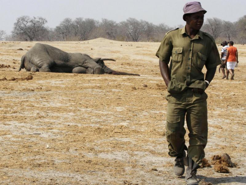 «Ranger» afasta-se de elefante envenenado (Reuters)