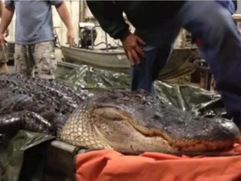 Americano caça aligator recordista (Foto: reprodução/Youtube/AnimalzOutraged/CNN)