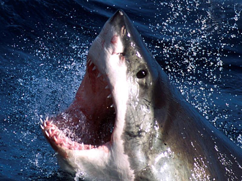 Tubarão branco (Reuters)