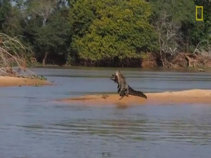 Vídeo mostra jaguar a atacar um crocodilo-camião (Foto Reprodução Youtube)
