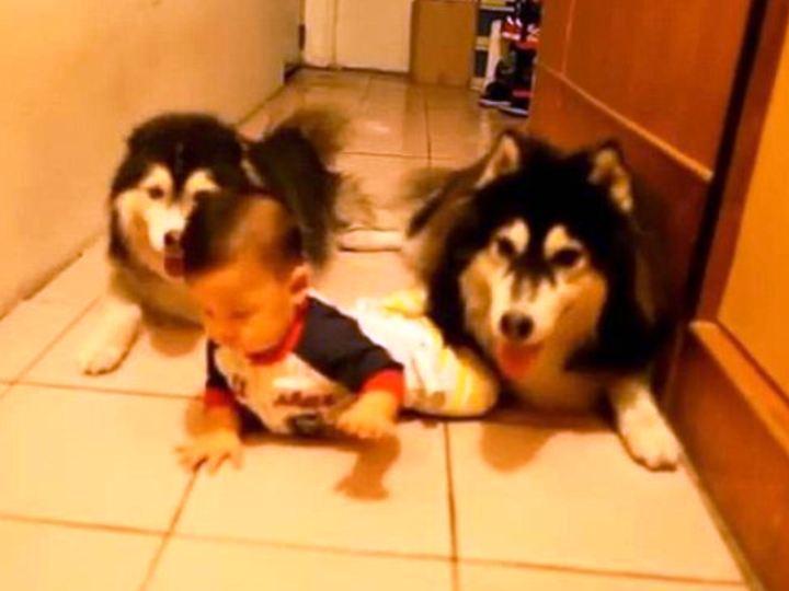 Cães gatinham com bebé