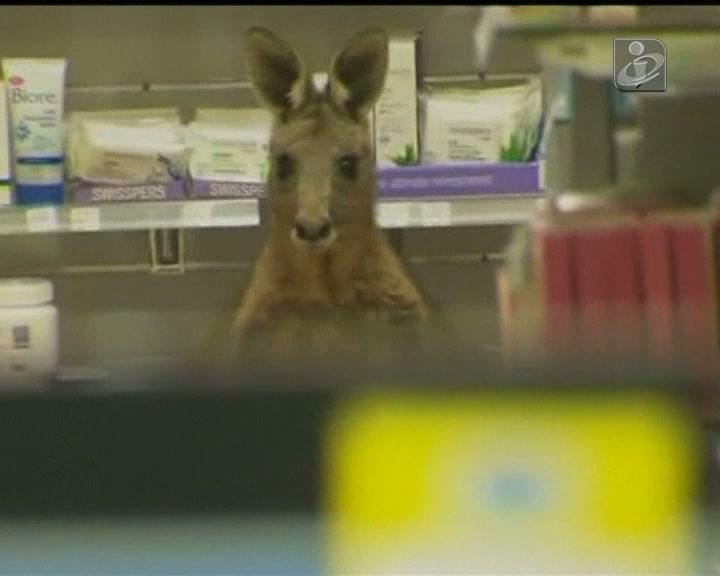 Canguru ferido entra em farmácia