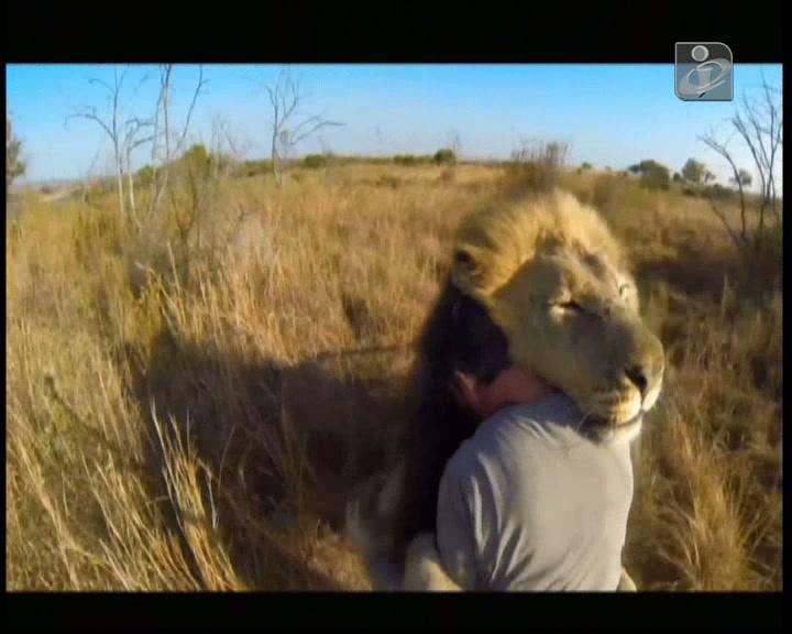 Veja um reencontro emocionado de dois leões com um humano