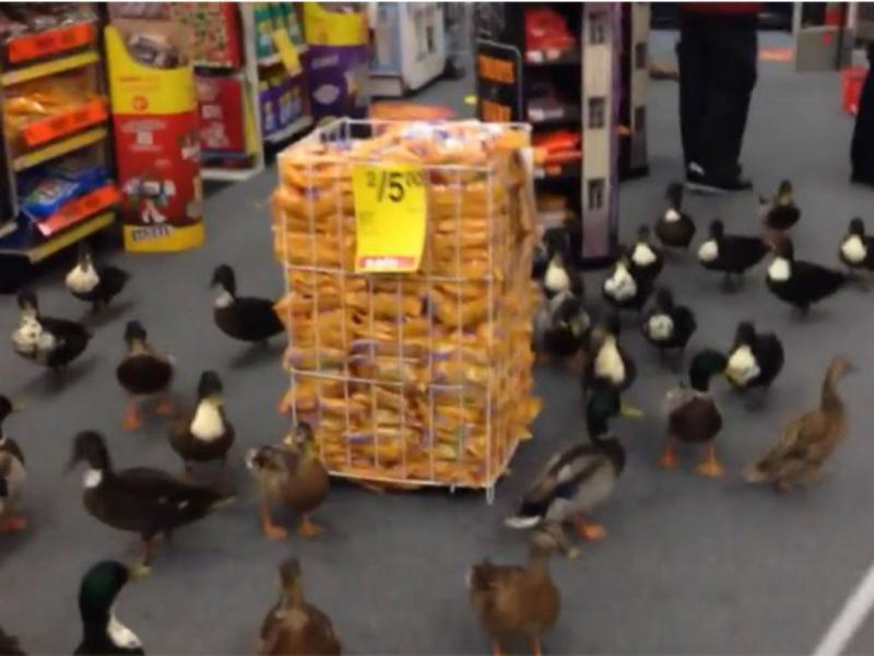 Patos invadem farmácia em Nova Iorque