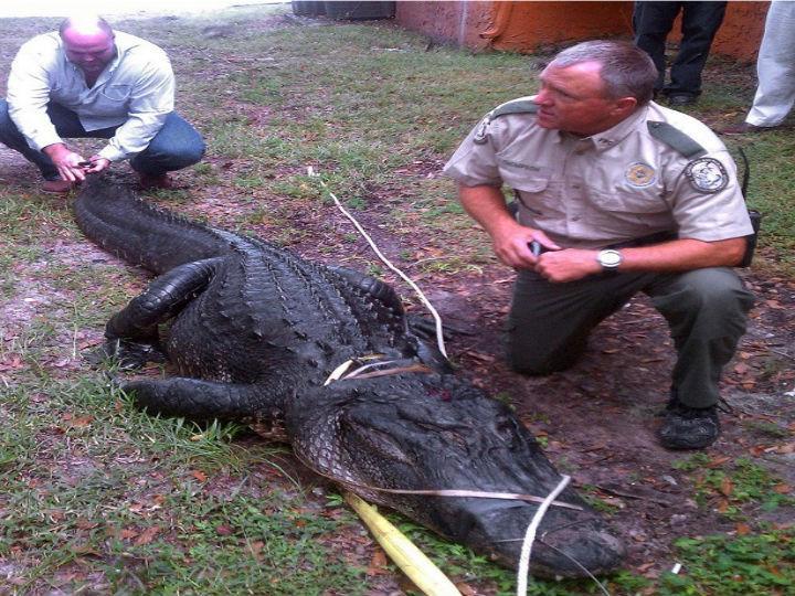 Jacaré Americano foi encontrado amarrado 0à uma árvore pelos moradores (Foto:Reprodução/Florida Fish and Wildlife Conservation Commission)