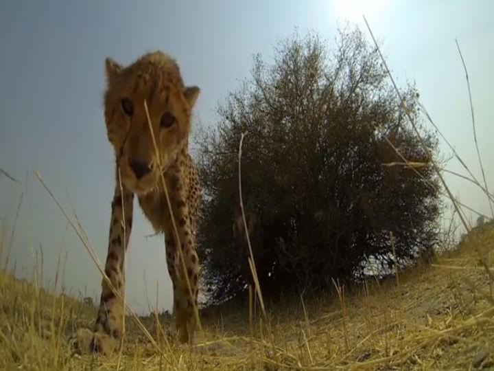 Vídeo mostra leopardo a lamber uma câmara (Foto Reprodução/YouTube)