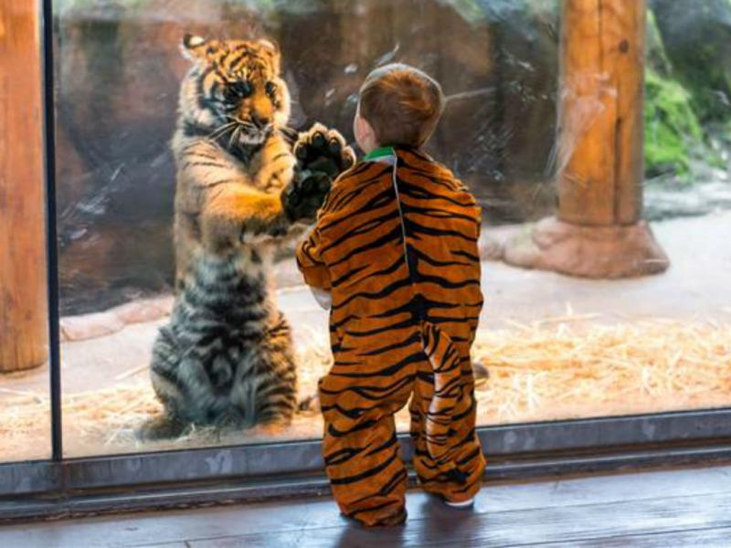 Tigre encanta-se com menino vestido de... tigre [Foto: Jackie Shaffer]