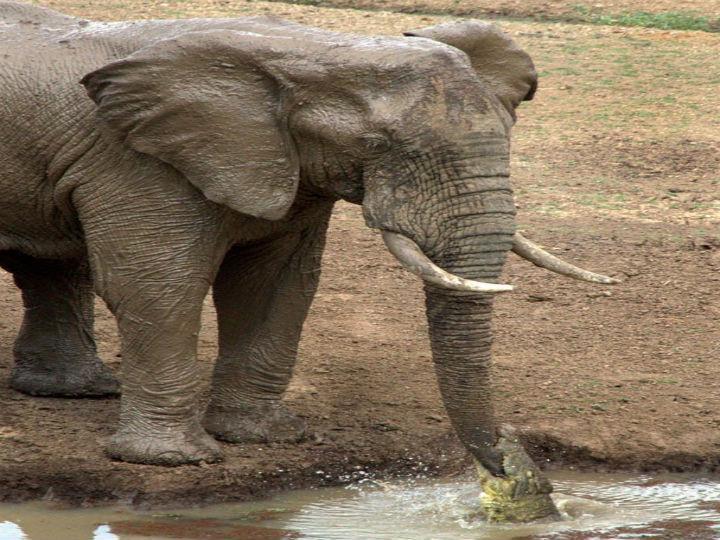 Crocodilo morde a tromba de um elefante (Foto Reprodução/Ian Salisbury)