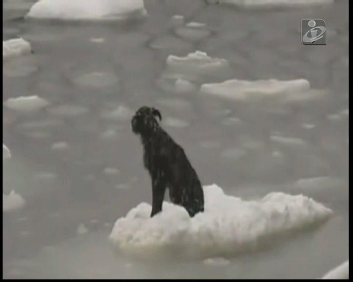 Cão resgatado depois de navegar 160 km em placa e gelo