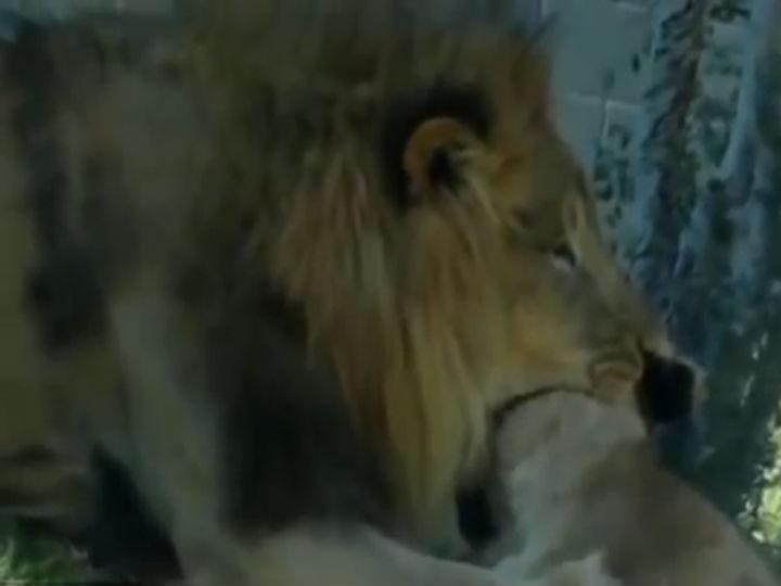 Leão mata leoa em frente aos visitantes de um zoo nos Estados Unidos
