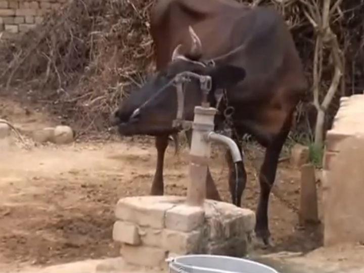 Vídeo mostra vaca a usar bomba de água para saciar a sede (Foto Reprodução/YouTube)