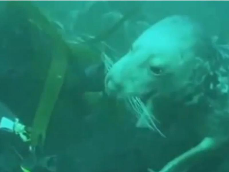 Foca aproxima-se de mergulhador (Reprodução / Youtube / evidancenews9)
