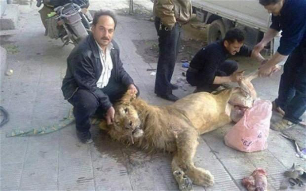 Sírios desesperados matam leão para comer (foto Twitter)