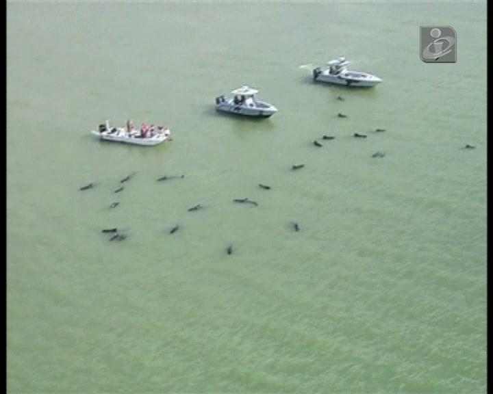 Dez baleias morreram e dezenas lutam pela vida na Flórida