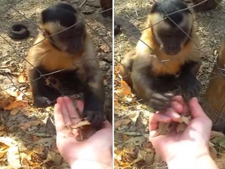 Macaco mostra como apanhar folhas (Foto:Reprodução/YouTube)