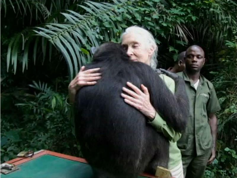 Wounda, a chimpanzé
