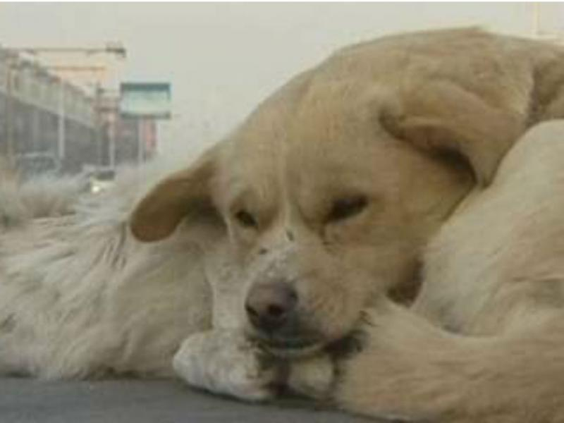 Cão não abandona amigo morto no meio da estrada