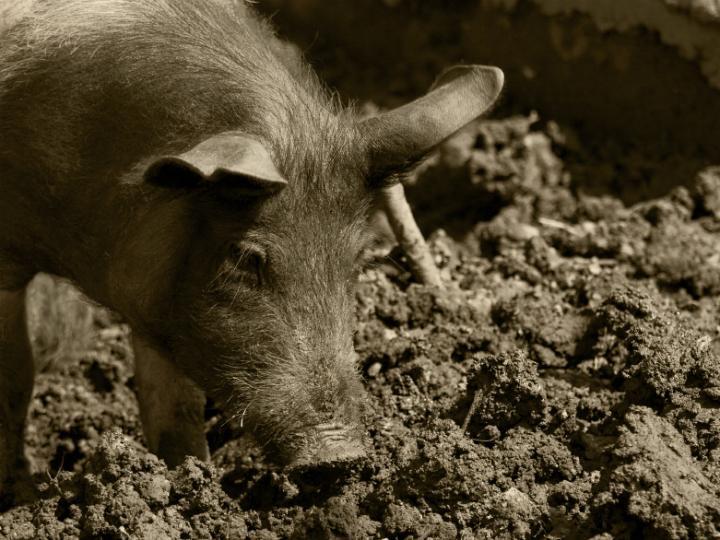 Porco preto (Istockphoto)