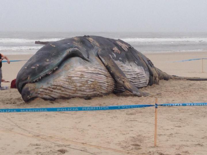 Filme de Miguel Gomes leva «baleia» à praia da Barra [Créditos: «O Som e a Fúria»]