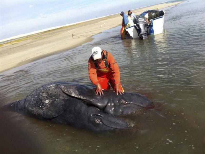 Baleia nasce com duas cabeças (Lusa/EPA)