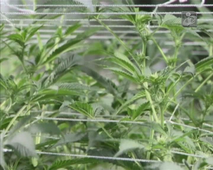 Venda legal de marijuana no Colorado já rendeu 5 milhões de dólares
