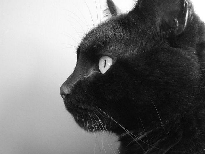 Gato preto (Imagem da Wikimedia Commons)