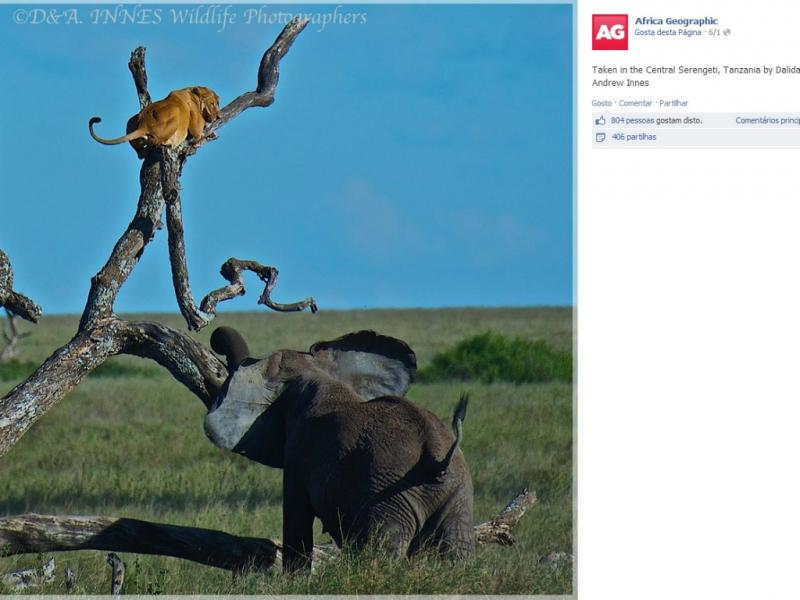 Leoa foge de elefante em África [Facebook]