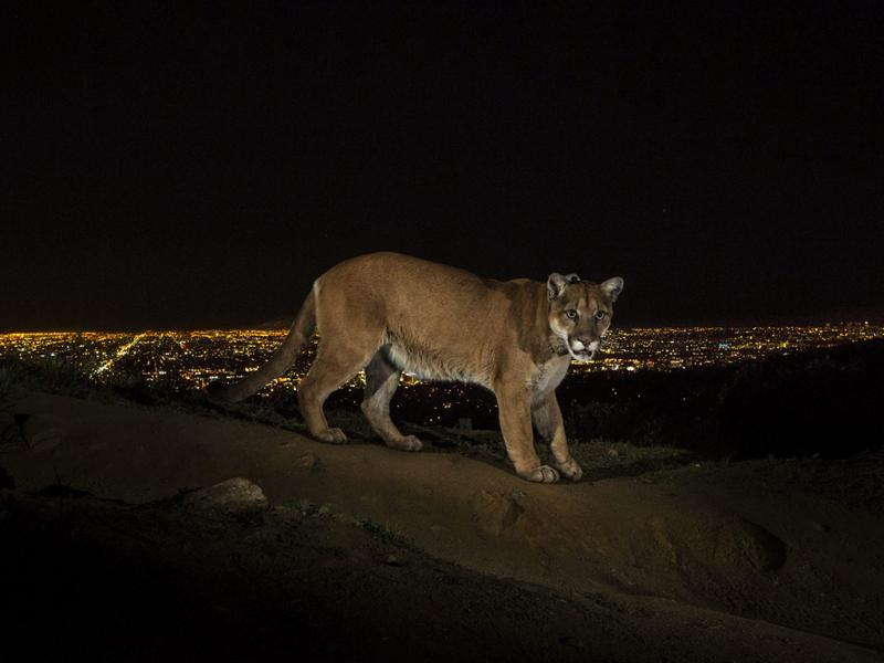 Puma num trilho no Griffith Park, Los Angeles - Foto de Steve Winter vencedor do 1º prémio na categoria de «Natureza» (Lusa)