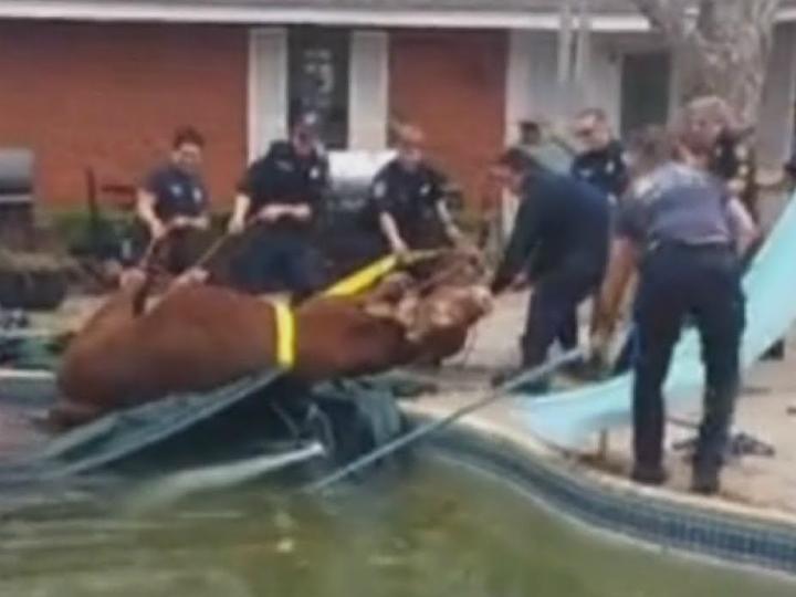 Bombeiros resgatam touro de piscina