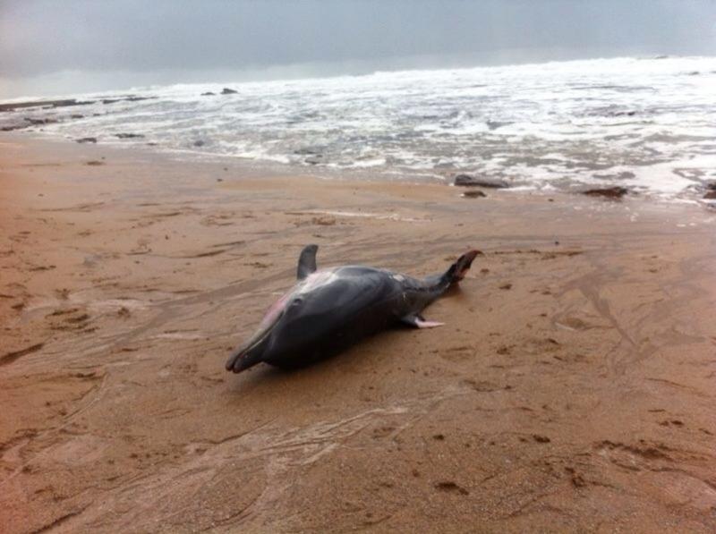 Golfinho morto (arquivo)