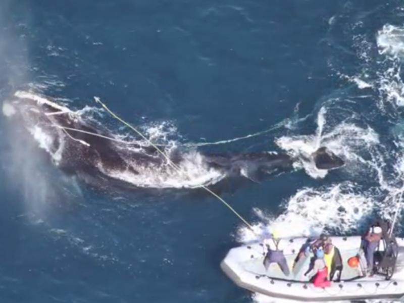 Baleia arrastava cabo em cobre de 100 metros