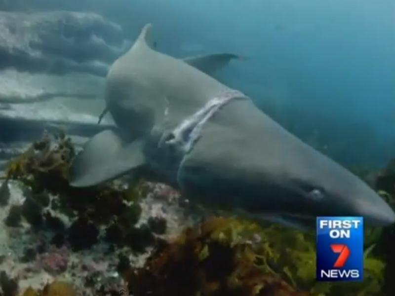 Resgate a tubarão bem sucedido