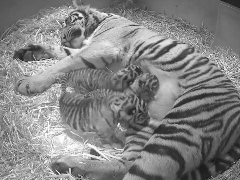 Tigres Sumatra nascem em cativeiro (EPA/LUSA)