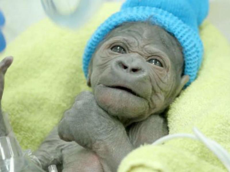 Bebé gorila nasce de cesariana, San Diego, EUA