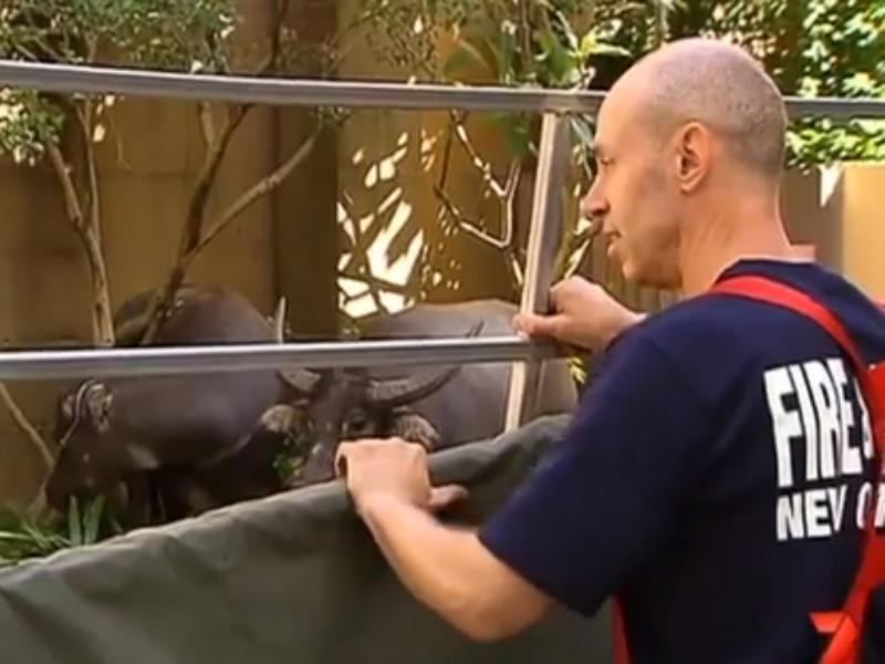 Dois búfalos passearam-se pela cidade de Sydney (reprodução YouTube)
