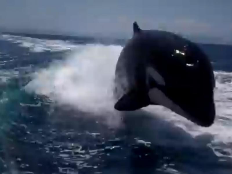 Orcas foram convidados inesperados durante as celebrações (Reprodução YouTube)