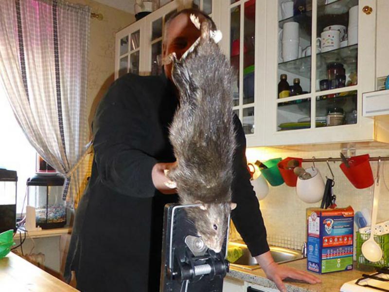 Rato gigante «aterrorizou» família sueca (Reprodução The Sun)