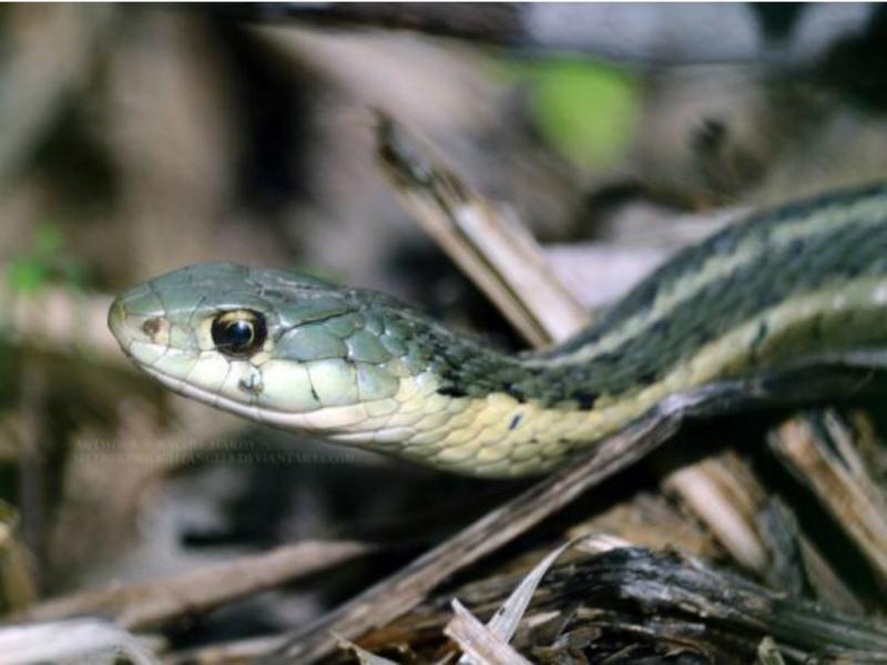 Cobra «garter»