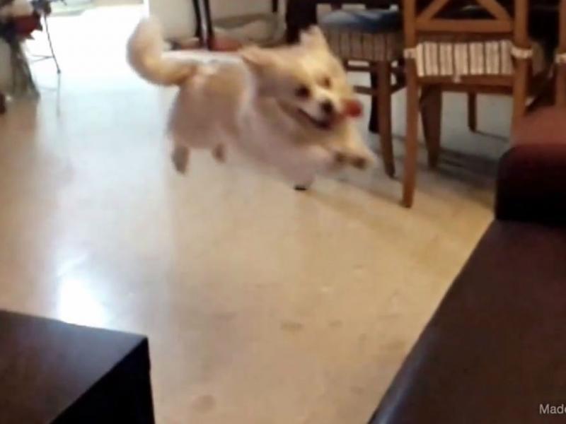 Este cão pensou que podia voar (Reprodução YouTube)