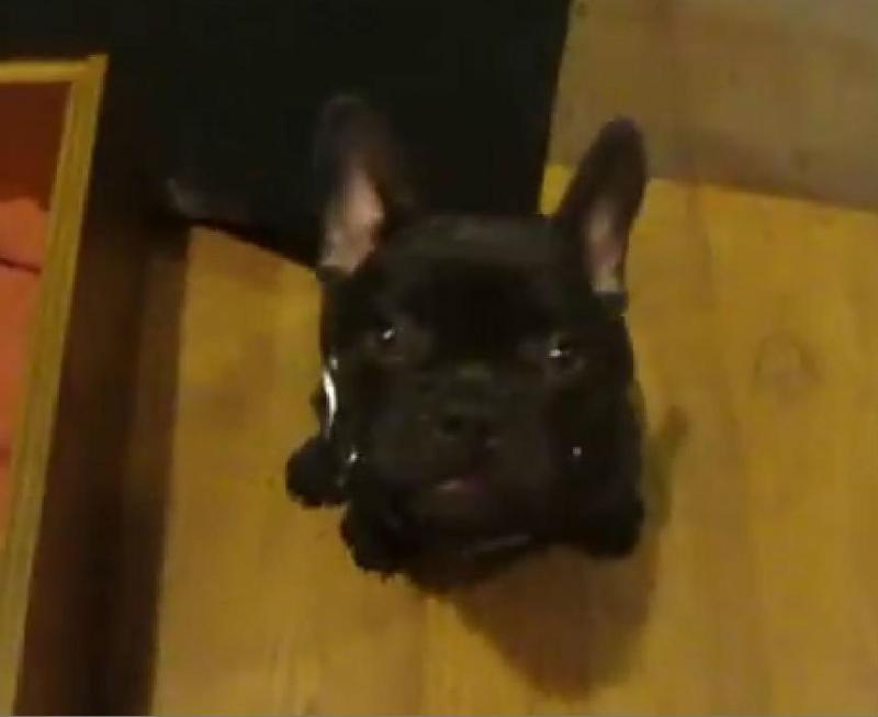Cachorro discute com a dona porque... não quer ir para a cama (Reprodução Youtube)